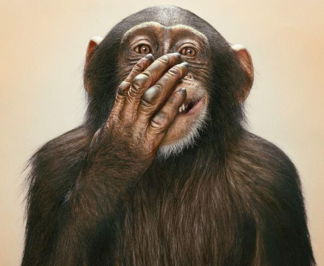 Portrait of common chimpanzee (Pan troglodytes), studio shot